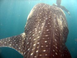 Whale shark feeding! by Adrian Newell 